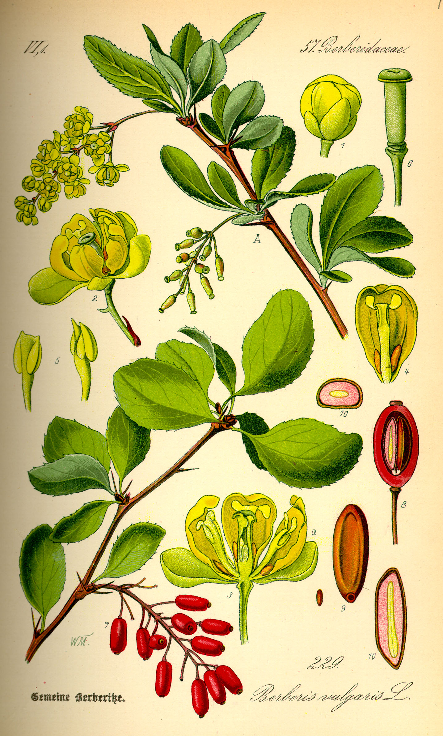 Illustration_Berberis_vulgaris0