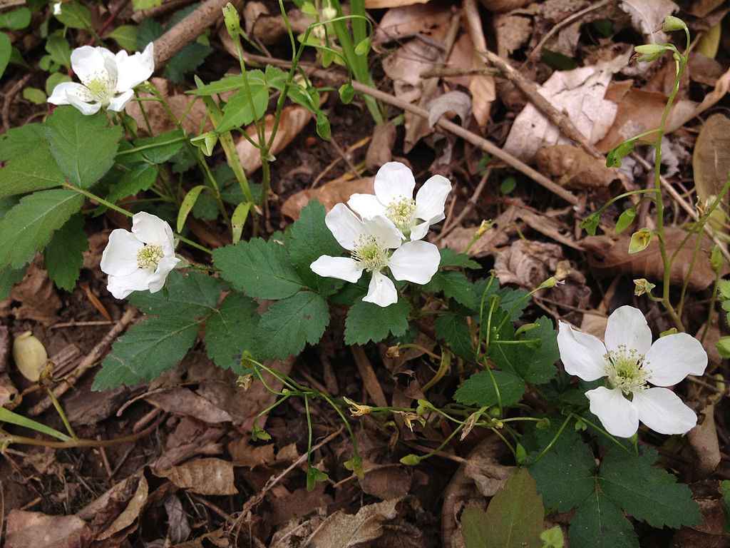 Rubus_flagellaris_-_Dewberry