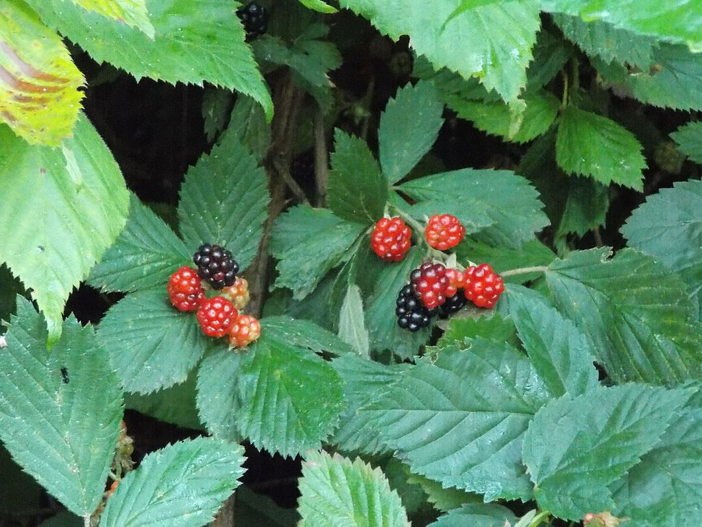 Wild_Blackberries
