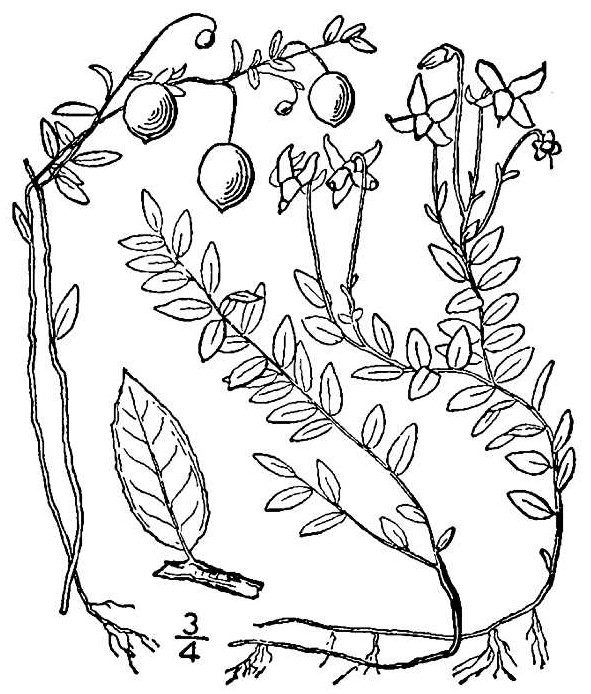 Common Cranberry drawing